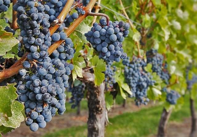 دستورالعمل فنی احداث و نگهداری باغ انگور دیم